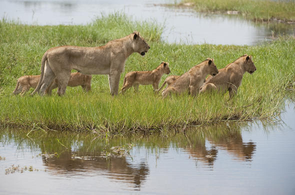 Lioness and cubs spotted in Botswana.