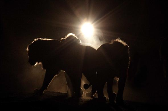 Lions in the spotlight.- Richard Miller