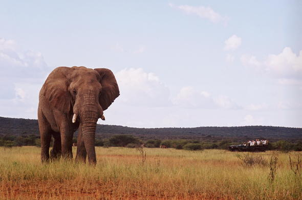 Spotting African Elephant during a game drive.
