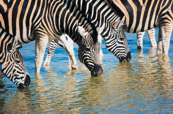 Dazzle of zebras drinking water in Madikwe Game Reserve.