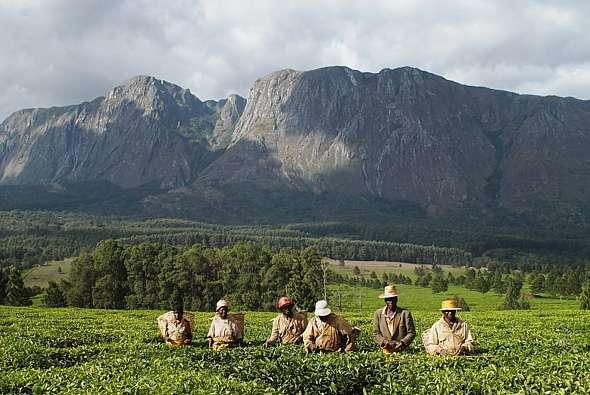 Tea farm near Mulanje