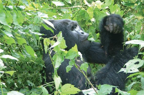 Male gorilla feeding