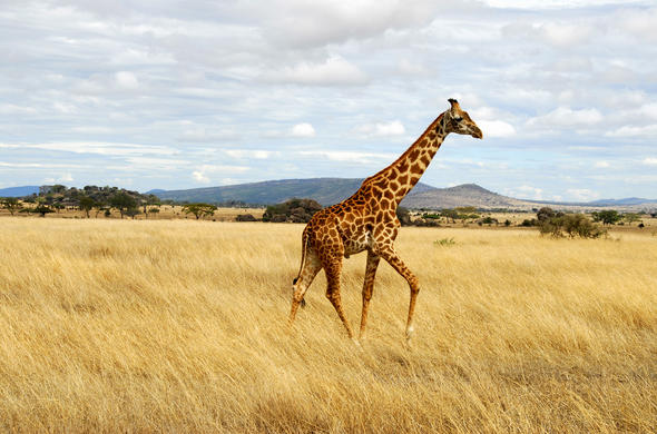 Giraffe in the Masai Mara.