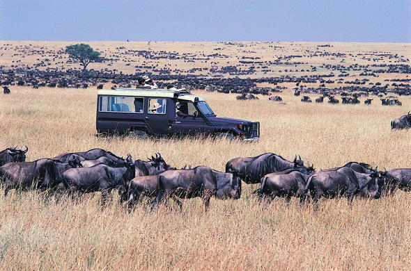 Watch the wildebeest migration from your safari vehicle.