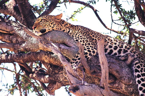 Leopard spotted lying in a tree in Kenya.