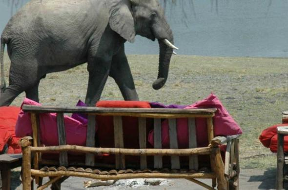Elephant visiting McMrides Camp in Kafue