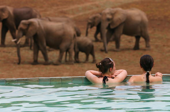 See elephants from the swimming pool at Mfuwe Lodge.
