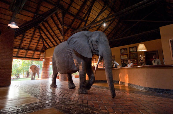 Elephant during their migration through the reception of Mfuwe Lodge.