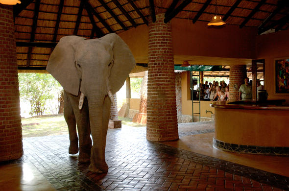 Elephant in reception area in South Luangwa National Park.