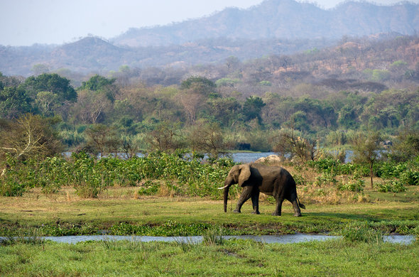 Elephant spotted walking to the river in Malawi.