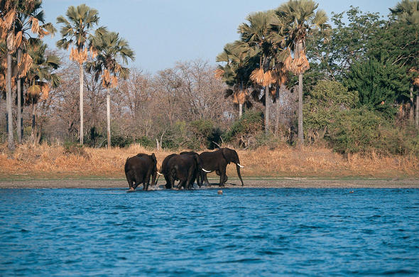 Elephants wade ashore near Mvuu Camp. Malawi