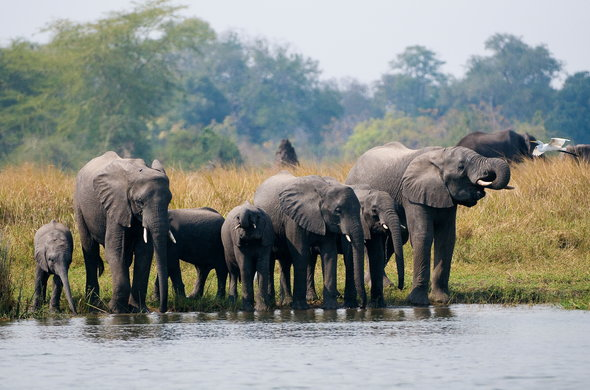 Herd of elephants drinking water in Liwonde National Park.