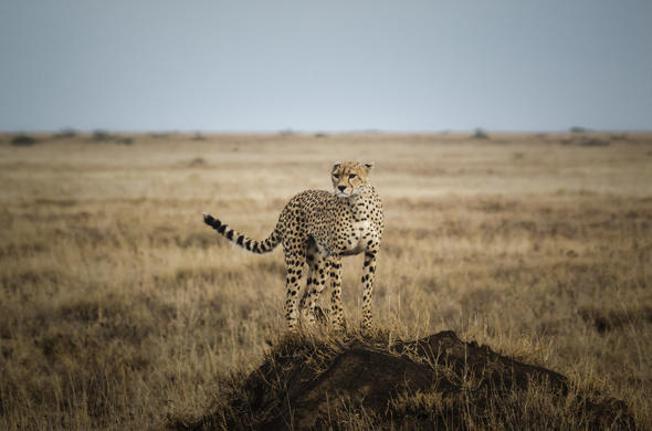 Cheetah sighting in Tanzania.