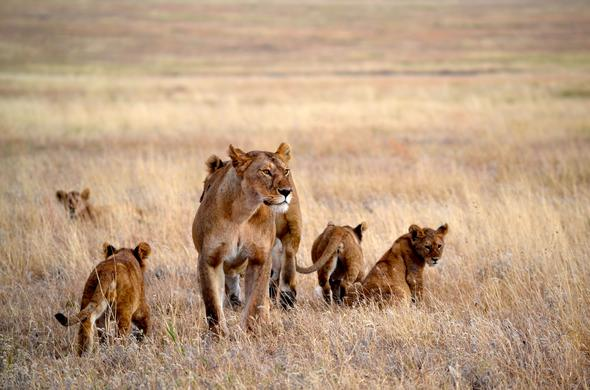 At Namiri Plains you will have many opportunities to track lion in Serengeti National Park.