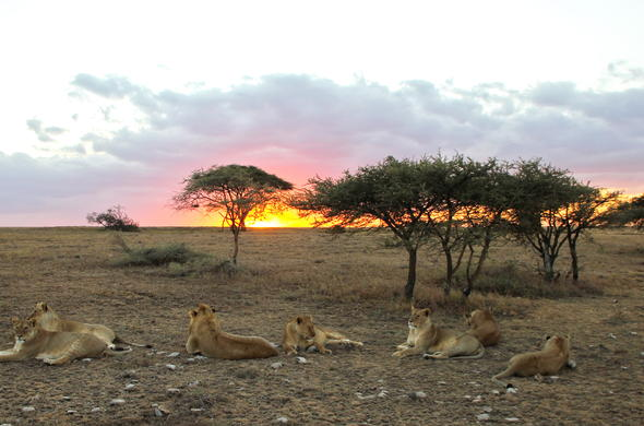 Lions watching the sunset in Serengeti.