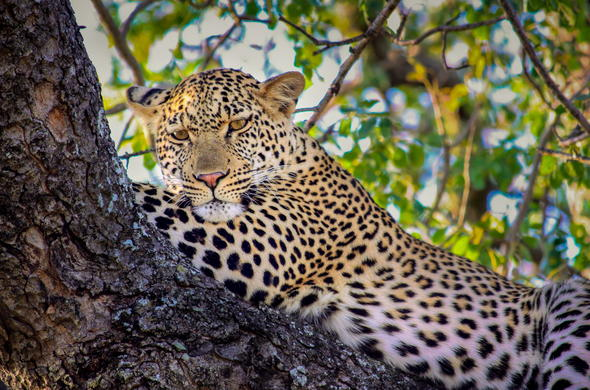 Leopard in Timbavati Game Reserve.