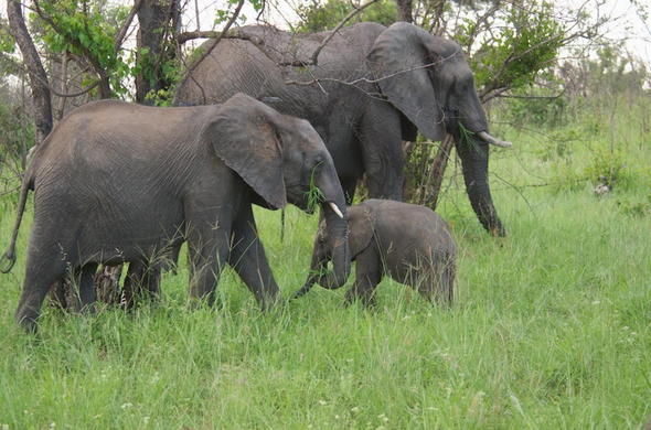 Elephant family in Sabi Sand Reserve, South Africa.