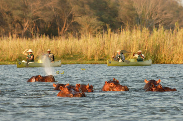 A bloat of hippos in the Zambezi River.
