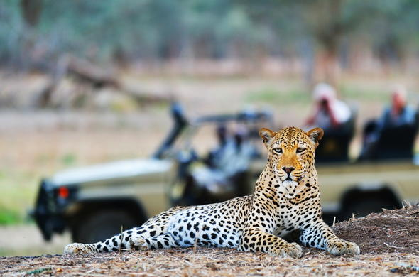 Leopard in the Lower Zambezi National Park.