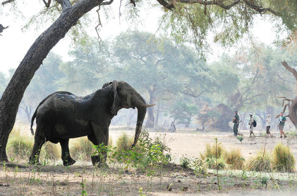 Guided walking safari in Luangwa Valley.