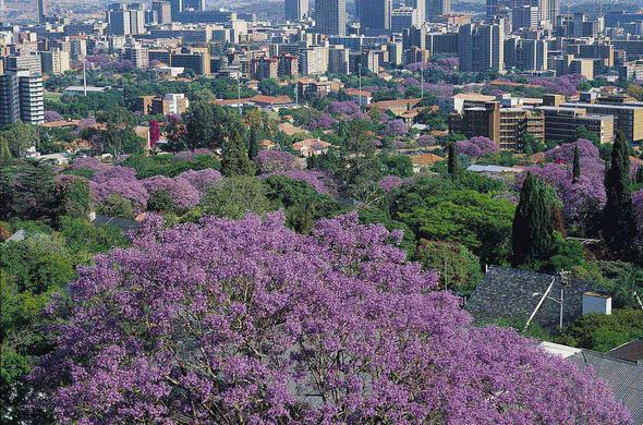 Pretoria the Jacaranda City