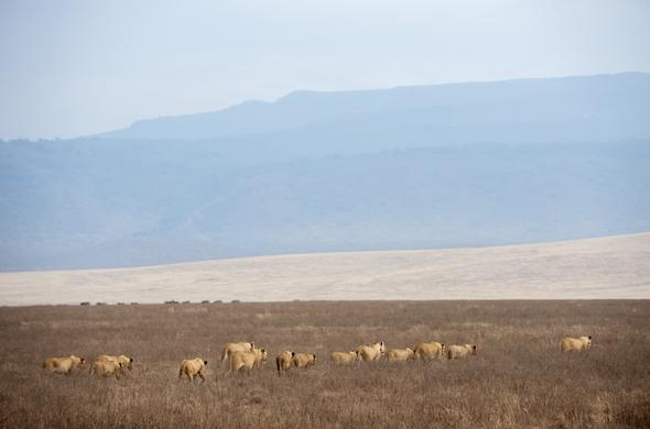 pride of lion Ngorongoro