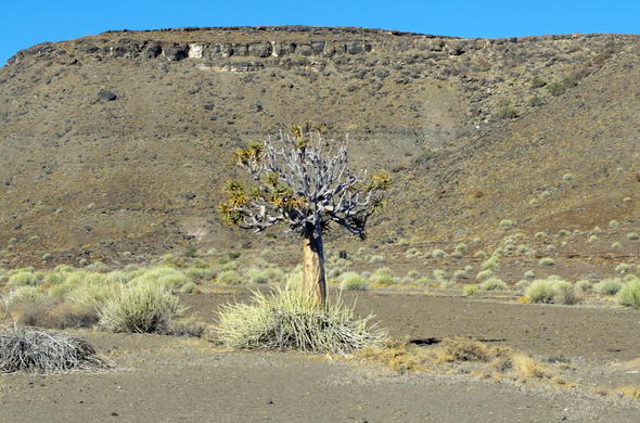 Quiver tree in Namibia.