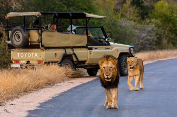 See lion while on a game drive in South Africa.