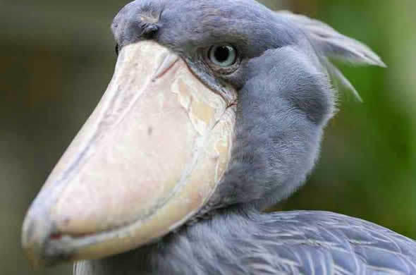 shoebill sighting with robin pope safaris