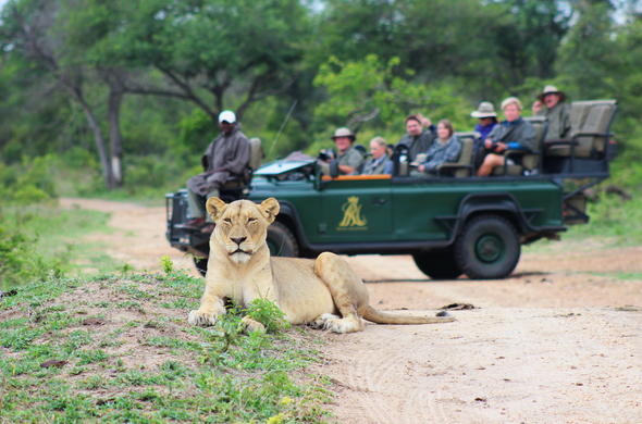 Lion sits near game drive vehicle.