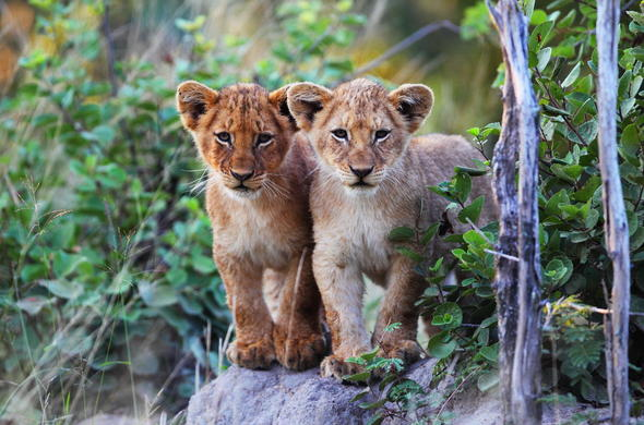 Lion cubs and wildlife can be seen on your safari.