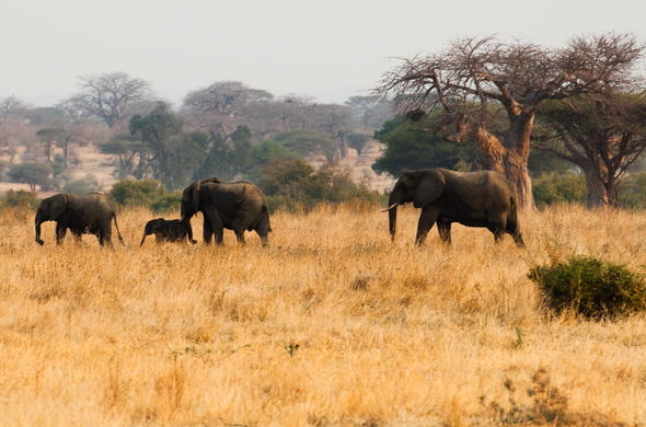 Ruaha elephants.