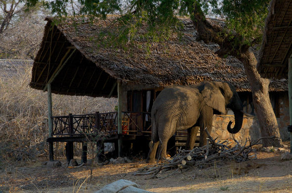 Elephant goes people-watching at Ruaha River Lodge