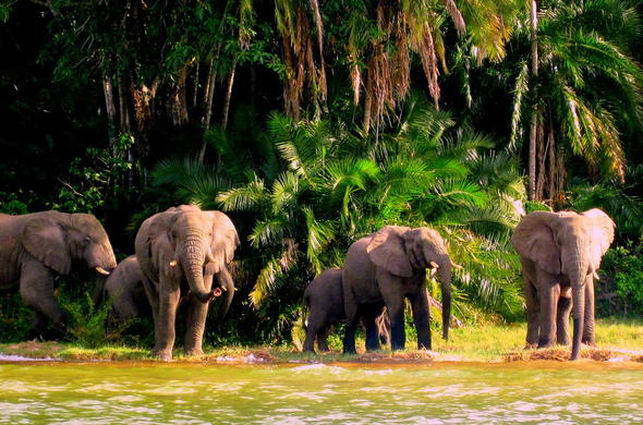 Herd of elephant spotted at Lake Victoria.