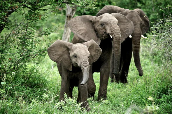 African elephants in Sabi Sand Game Reserve.