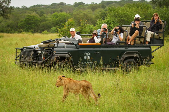 Spotting lion in Sabi Sand during a game drive.