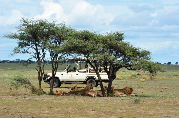 Spotting a pride of lions in Serengeti National Park.