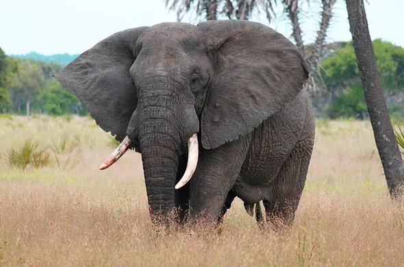 Elephant are one of the many game you can spot in Saadani National Park.