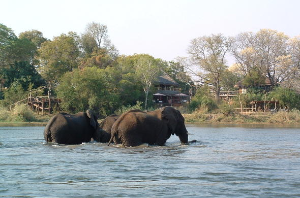Elephants crossing the Zambezi River.
