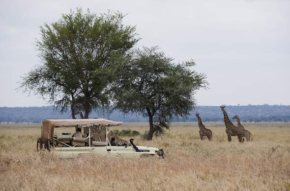 Spotting giraffes during a game drive in Tarangire.