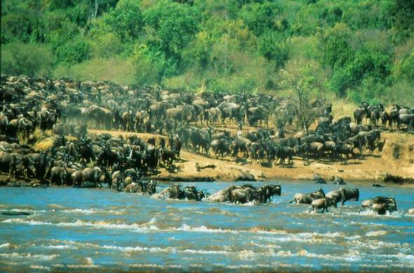 Witness the Great Wildebeest Migration.