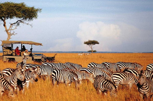 Saruni Wild offers game drives to the the zebra migration.