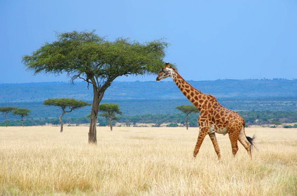 Giraffe in the grassy plains of Masai Mara.