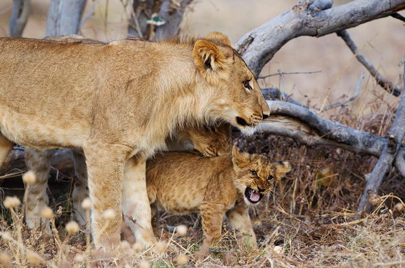 Lion and cub in Savute.