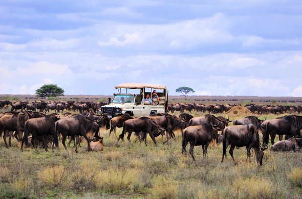 Following the Serengeti migration on a game drive.