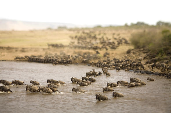 Great wildebeest migration in Tanzania.