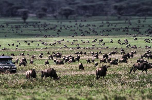 Wildebeest seen on game drives in Serengeti National Park.