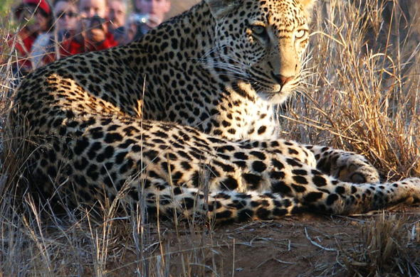 See Leopard on your South African safari tour.