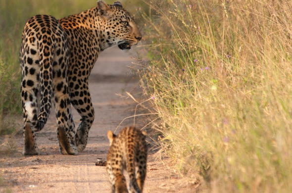 A mother leopard and her cub in Kruger National Park.