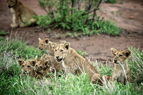 Lion cubs in Kruger National Park.